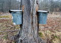 Pails collecting sap to make maple syrup two on tree produce and other products Royalty Free Stock Photography