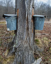 Pails Collecting Sap To Make Maple Syrup Royalty Free Stock Photo