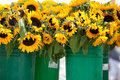 Pails filled with sunflowers at Stock Photography