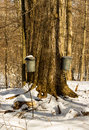 Pails hang sugar maple trees collecting sap Stock Photography