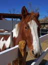 Paint horse looks over the fence beautiful brown and white Royalty Free Stock Images