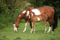 Paint horse mare with adorable foal on pasturage in summer Stock Photography