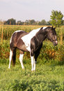 Paint stallion in meadow Royalty Free Stock Images