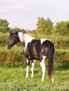 Paint stallion in meadow Royalty Free Stock Photo