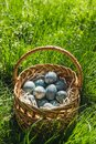 Painted blue textured easter eggs in wicker brown hand made basket. The concept of the spring holiday and egg hunting. Royalty Free Stock Photo