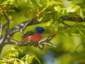 Painted bunting passerina ciris perched in a hickory tree with bright green spring foliage Stock Photos