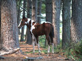 Painted Colt in Forest Stock Photo