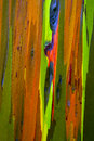 Painted eucalyptus tree bark of a gum kauai hawaii Stock Photos