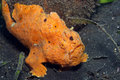 Painted frogfish Royalty Free Stock Photo