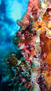 Painted Frogfish or Anglerfish,Antennarius pictus Royalty Free Stock Images