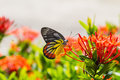 Painted Jezebel butterfly Royalty Free Stock Image