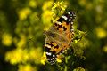 Painted Lady Royalty Free Stock Photo