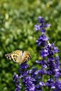 Painted lady on the aconite Royalty Free Stock Photo