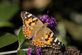Painted lady butterfly on Buddleia Royalty Free Stock Photo