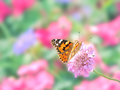 Painted lady butterfly feeding from a pink flower in a flower garden with focus on the for ground Stock Photos
