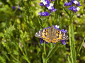 Painted lady butterfly a latin name cynthia cardui resting on colorful statice flowers Stock Image
