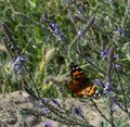 Painted Lady Butterfly with open wings on plant stem with yellow flowers in the background