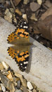 Painted lady butterfly vanessa cardui closeup image of a Royalty Free Stock Photos