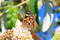 The painted lady or cosmopolitan vanessa cardui on summer lilac buddleja davidii in netherlands Royalty Free Stock Image