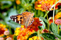 Painted lady on flower Royalty Free Stock Photography