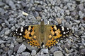 Painted Lady - Vanessa cardui Stock Images