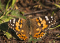 Painted lady vanessa cardui resting on the ground Royalty Free Stock Images