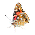 Painted Lady (Vanessa cardui) on white Royalty Free Stock Photo