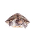 Painted river terrapin on white background. Royalty Free Stock Photo