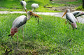 Painted Stork Bird Stock Images