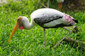 Painted Stork Bird Royalty Free Stock Images