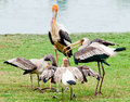 The Painted stork bird Stock Photos