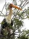 Painted stork bird on the branches of the tree Royalty Free Stock Photo