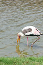 Painted stork bird close up Royalty Free Stock Photography