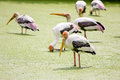 Painted stork bird group of in a lake Royalty Free Stock Image