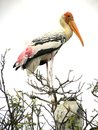 Painted stork bird, Mycteria leucocephala standing on branches of tree Royalty Free Stock Photo