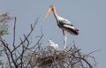 Painted stork with chick and nest Royalty Free Stock Photo