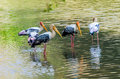 Painted stork close up of a group of Stock Photography