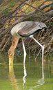 Painted stork finding fish Stock Images