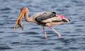 Painted stork fishing in water Royalty Free Stock Image