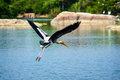 Painted stork in flight a over blue water Royalty Free Stock Image