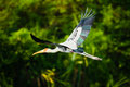 Painted stork flying a in flight Royalty Free Stock Photos