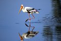 Painted stork has a long and heavy yellow bill which slightly curved at the tip face is yellow and waxy with no feathers plumage Stock Photos