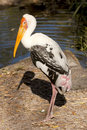 Painted Stork (Mycteria leucocephala) Stock Photos