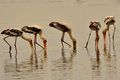 Painted stork the mycteria leucocephala is a large wading bird in the family Stock Photography