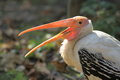 Painted stork the with the open bill Royalty Free Stock Photo