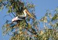 Painted Stork perched on a tree Royalty Free Stock Photo