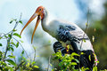 Painted stork a perching in its nest in the treetops Royalty Free Stock Photos