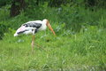 Painted stork the strolling in the grass Royalty Free Stock Photography