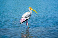 Painted stork a wading through blue waters Royalty Free Stock Photo