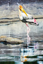 Painted stork a wading through the river shallows Royalty Free Stock Photos